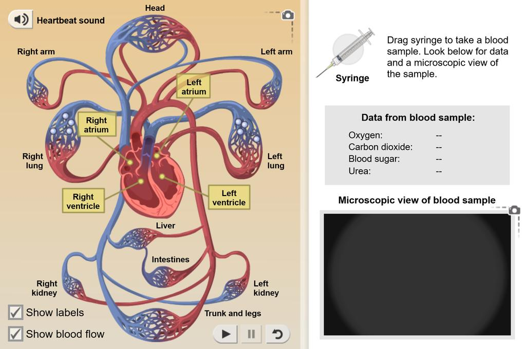 Screenshot of Circulatory System Gizmo
